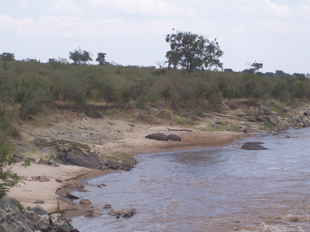 Hippos on the Mara River, Kenya. August 2007.