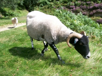 An extremely friendly sheep on the path to Kinder Scout from Edale. Aug 2009.